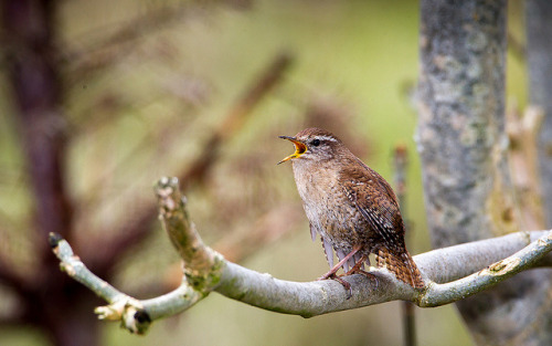 Happy wren near it's under construction nest… by David Dugal on Flickr.