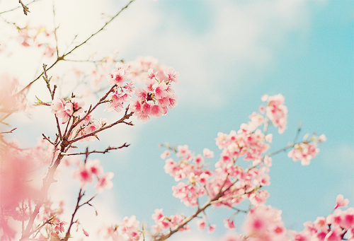 blossoms (by **mog**)