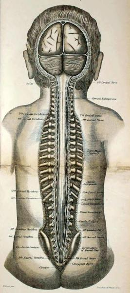 "Position of the spinal cord in the vertebral canal The spinal cord proper does not extend the entire length of the vertebral canal. It ends between the first and second lumbar vertebra (two vertebra below the last set of ribs - just below the middle of the back), and a bundle of nerves that extend from it, called the cauda equina (""horse's tail""), extends the rest of the way down the back, and into the sacrum. In adults, the spinal cord is usually between 17-18 inches long (43-45 cm).Atlas of Applied (Topographical) Anatomy for Students and Practitioners. Dr. Karl von Bardeleben and Dr. Heinrich Haeckel, 1906."