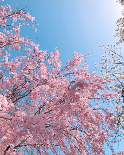 cherry blossoms iotd inspiration inspo nail inspiration nail inspo beautiful pink cherry blossom tree japan nature gorgeous @rurina_nishizawa