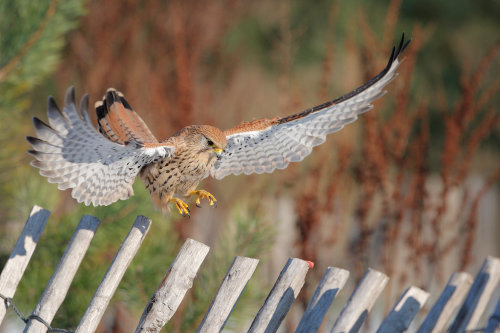 fairy-wren:  Female European Kestrel (photo)