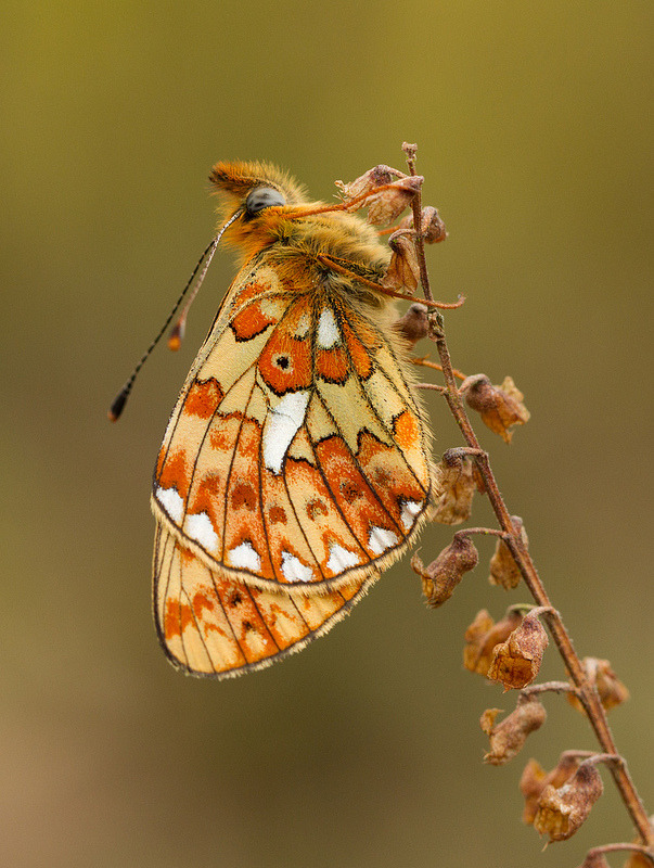 theanimalblog:  Pearl Bordered Fratillary. Photo by Gary Faulkner