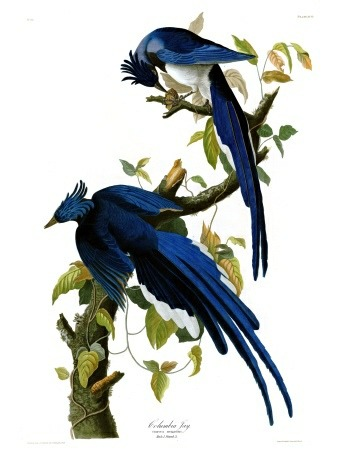 Plate 96 of The Birds of America by John Audubon, the Columbia Jay.
