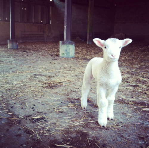 Lambing.  It's been a few busy weeks on the farm. We have been lambing.  Sorry for any slow responses to emails and tweets, but we have been in the mud and making sure all is well and safe.  Rich tired lambing outdoors this year with the Welsh Black Mountain Ewes and really it has been successful. Learning for the future.