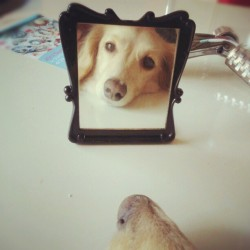 "thefluffingtonpost:  Narcissistic Personality Disorder on the Rise Among Dogs Mirror, mirror on the wall, who's the vainest of them all? Dogs, that's who. According to a new study from York University in Toronto, Canada, dogs are exhibiting 57% more narcissistic behaviors as a species then they were ten years ago. ""We think social media is an enabler and a root cause here,"" said researcher Tom Anderson, no relation to the founder of MySpace. ""You have this constant stream of canines telling each other how great they are, which just reinforces their narcissistic tendencies. We've seen the same thing in humans."" Via asamista."