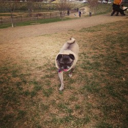Duke lopes (at Nampa Dog Park)