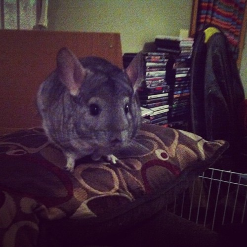 #Chobi my #chinchilla tonight hanging out on the couch while I watch Dexter :)#instapet