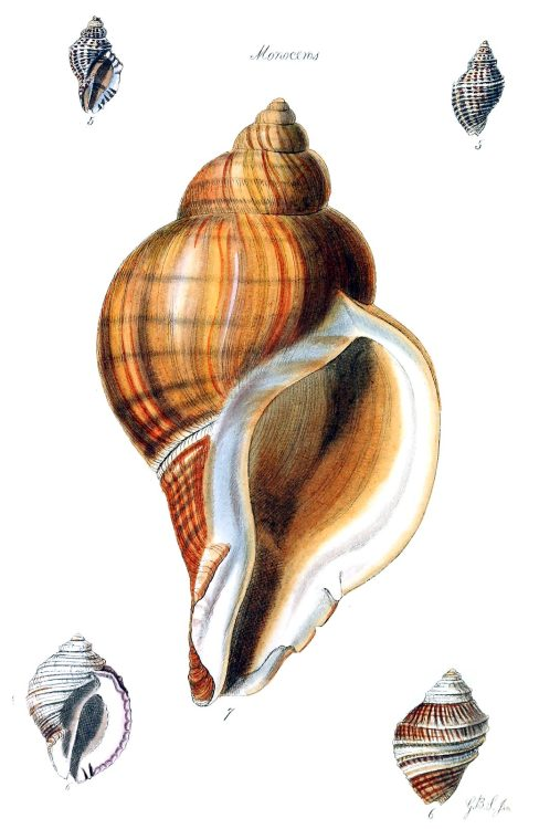 Unicorn snails (Acanthina, syn. Monoceros)  From The conchological illustrations, by George Brettingham Sowerby, London, 1832.  (Source: archive.org)