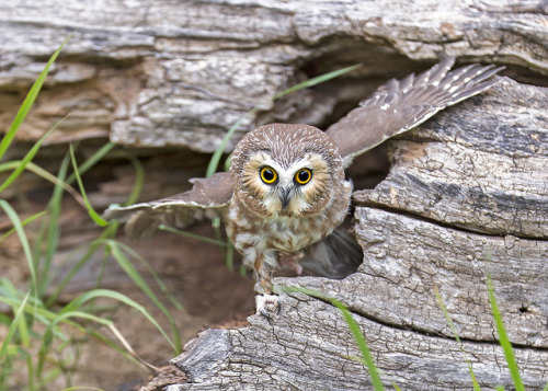 Northern Saw-whet Owl by gary samples on Flickr.