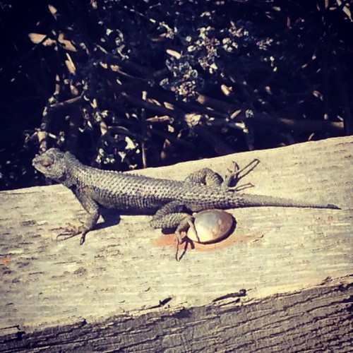 Our lizard friend  #beach #walk #roadtrip #ca #moonstonebeach #animal