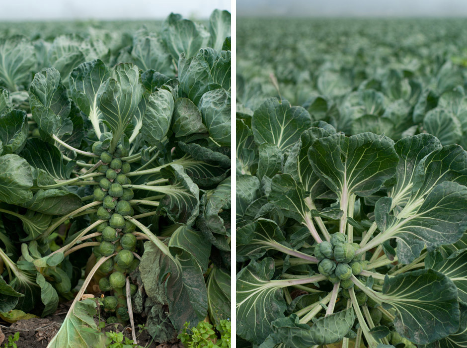 Have you ever seen how brussels sprouts grow? They are so beautiful! I recently came across this field of them not too far from us, in Half Moon Bay, where there is so much gorgeous farmland on the sea. I got some brussels sprouts in my CSA box this week so it inspired me to come home and make an oldie but goodie, roasted brussels sprouts with golden raisins and turkey kielbasa. Swap out the kielbasa for tofu sausage or onions if you'd like a veggie version of this. You can also just as easily use a cookie sheet. Use olive oil generously and keep that oven high to ensure crispy bits on the edges of the sprouts (the best part!). Recipe and artwork by Erin Gleeson for The Forest Feast