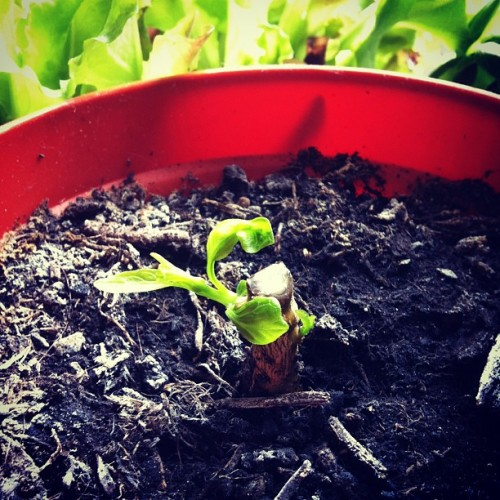 #challenge365 day 229: Our pepper plant was dying so last week I cut it down to throw it away. Within a few days, it did this. 💚 #plant #life #nature