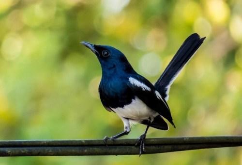 Kenapa Pleci Gacor Jadi Mandeg BunyiCiblek GunungTajaring, Kembaran Lovebird Asli IndonesiaPuluhan Ayam Mati Mendadak Di Weru CirebonPunglor KayuAnis Hutan (Sunda Thrush)Punglor MacanBranjanganBerbagai Model Kandang Untuk Ternak LovebirdRatusan Habitat Burung Di Hutan Terancam PunahTips Memilih Bakalan Anakan Lovebird BerkualitasMaleo Burung Langka Dari SulawesiSeorang Polisi Tewas Akibat Cari BurungHarga Burung Ratusan Juta Karena Menang LombaSilvereye Zosterops Lateralis Monty Selandia BaruRibuan Burung Gagal Di Selundupkan Ke JawaHutan Kota Bungkirit Rawan Pemburu BurungDahulu Burung Mempunyai Dua Ekor, Benarkah?Kicau Burung Bisa Berubah Karena PencemaranSpesies Burung Kuno Kembali Di TemukanBurung Madu Ekor Merah Aethopyga Temminckii / TemminckBurung Purba Tertua Di DuniaFosil Burung Purba Dengan 4 SayapBurung Kolibri Sepah RajaBurung Madu - Kolibri KelapaBurung Kolibri Tasik - Leptocoma Sperata3 Species Baru Dalam Genus CopsychusDecu Si Mungil Yang DahsyatKacamata Sangihe White-Eye Zosterops NehrkornSi Bolt Burung Dara Merpati Balap Termahal Di DuniaBKSDA Kaltim Menyita Burung Paruh BengkokBurung Mantenan Atau Sepah Curi PerhatianPleci (Burung Kacamata) Dan KeluarganyaAngry Birds Ternyata Ada Di Kehidupan NyataParadisaea MinorBerbagi Informasi Tentang BurungTips Jitu Merawat Burung Menjadi JuaraCerita Lucu, Burung Kea Suka MencuriBurung Garuda Masih Menjadi MisteriPerlengkapan Yang Di Butuhkan BurungBurung Bertanduk KawatUmur Burung Laut Lebih PanjangRawatan Murai Batu Muda Dan Dewasa Dari HutanBurung Penghisap Madu Dari PapuaTernak Lovebird, Hasilnya Jutaan RupiahTips Dan Solusi Agar Burung Jadi Rajin Dan GacorFumayin Dan Performa BurungAjang Test Mental Burung, Tegalwangi CirebonBurung Paling Tua Di DuniaHati-Hati Burung Keluar Dari SangkarnyaMencari Burung Merpati Balap, Super SprintGara-Gara Si Wiwik Harga Burung JatuhCenderawasih Botak | Cicinnurus RespublicaTernyata Masih Ada Branjangan Asli CirebonCenderawasih Raggiana | Paradisaea RaggianaCenderawasih R