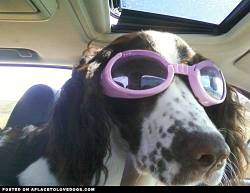 Elle Mae being cool in her shades mickey profile on aplacetolovedogs To get your own profile page on aplacetolovedogs click here