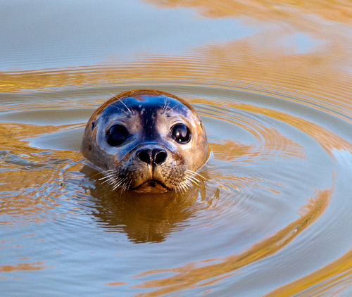 loveforearth:  Sammy the Seal visits Peterborough. (by uplandswolf)