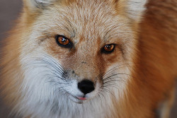 preclude:  Fox Face by Rob Lee on Flickr.