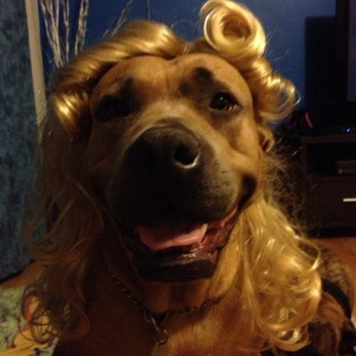 But I think Nala does it better #wigtime #dogmodel (at House of Headlam)