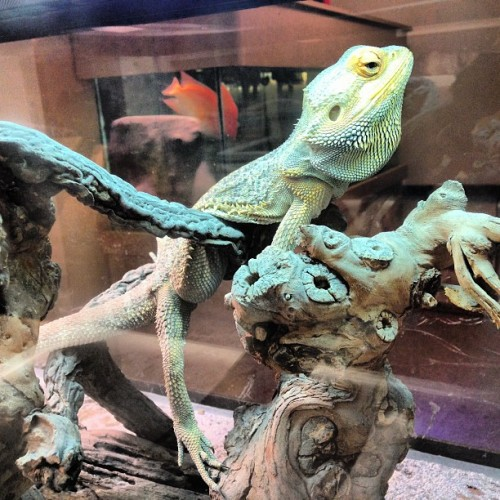 @the_machine420 🐲 #beardeddragon #lizard #crazyfish #friends