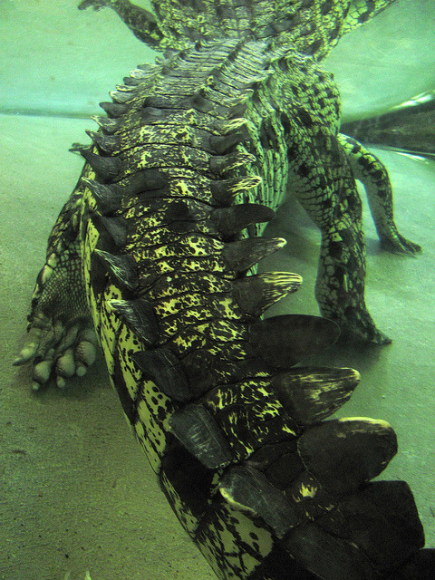 theanimaleffect:  Crocodile by lunatiquegirl on Flickr.