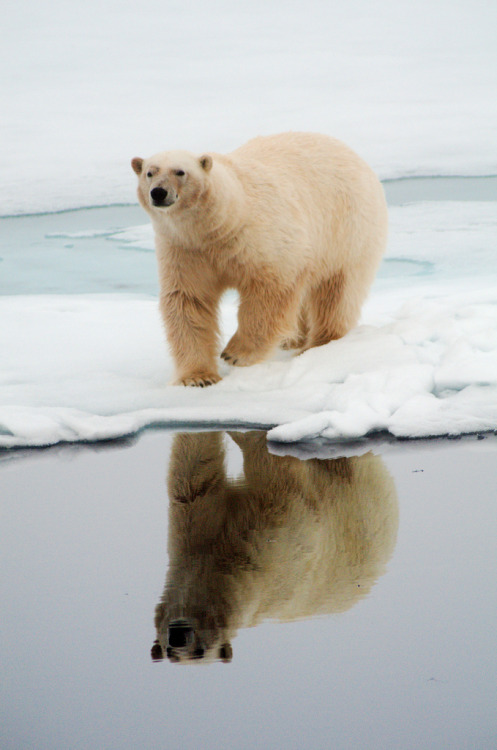 archenland:  Polar Bear by Chis Berge