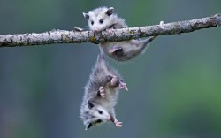 allcreatures:   Two baby opossums play on a branch, with one using its tail to cling on, while photographer Ronald Wittek took this photo while visiting a farm in Minnesota, USA  Picture: Ronald Wittek/Arco Images/Solent News (via Pictures of the day: 20 May 2013 - Telegraph)  POSSSSSUUUUUMMMMMSSSS