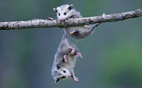 Two baby opossums play on a branch, with one using its tail to cling on, while photographer Ronald Wittek took this photo while visiting a farm in Minnesota, USA  Picture: Ronald Wittek/Arco Images/Solent News (via Pictures of the day: 20 May 2013 - Telegraph)