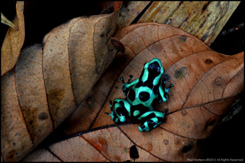 animalkingd0m:  Jungle Jewel by Paul Bratescu