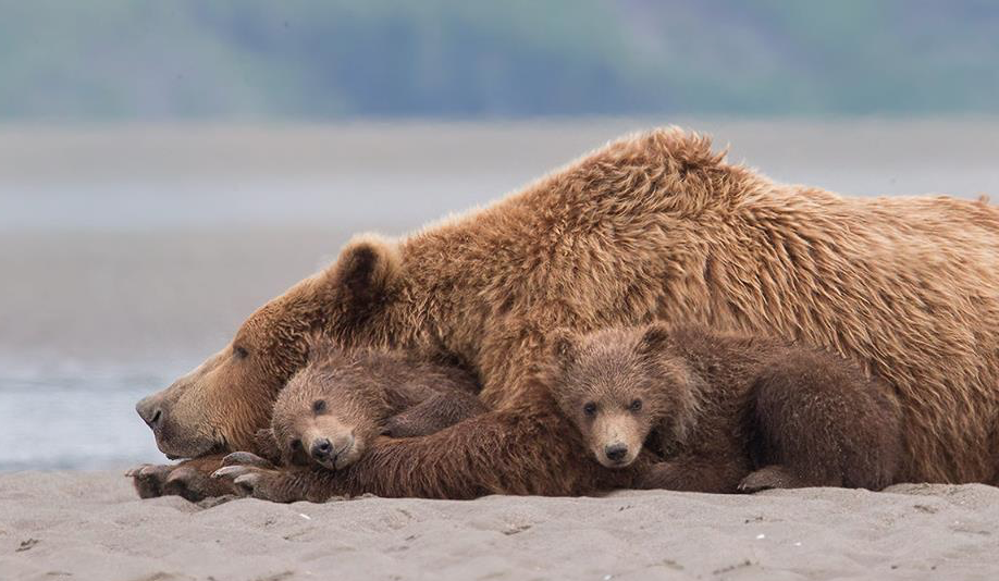 "its–all–g00d: ""mama bear and her cubs photographed by tin man lee from alaska's katmai national park. """