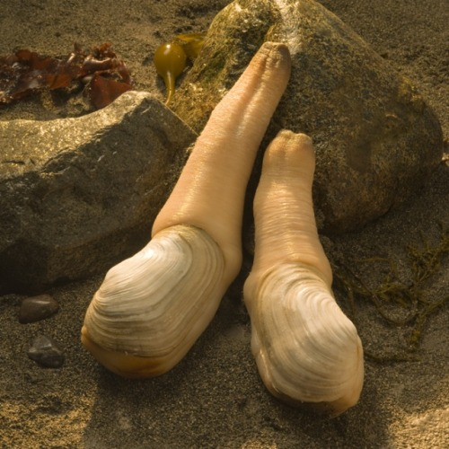 "wtfevolution:  The geoduck (pronounced ""gooey-duck"") is native to the Pacific Northwest United States. It's the largest burrowing clam in the world and can live for more than 150 years. There is nothing funny about it."