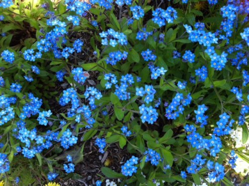 why do I love forget-me-nots so much?