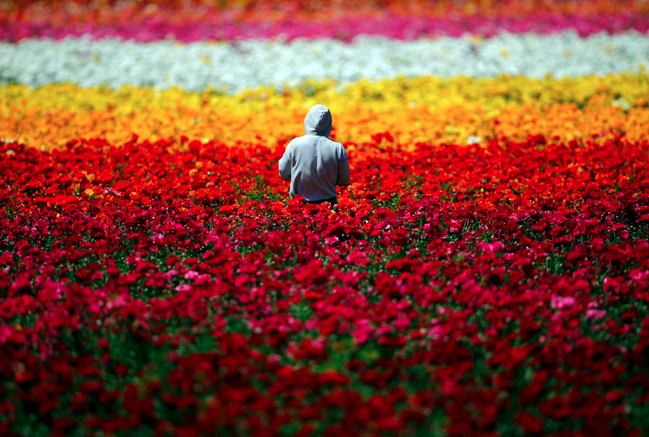 A worker hand-picks Giant Tecolote Ranunculus flowers at the Flower Fields in Carlsbad, California April 10, 2013. The flowers are sold for commercial purposes and the fields are a tourist attraction. REUTERS/Mike Blake