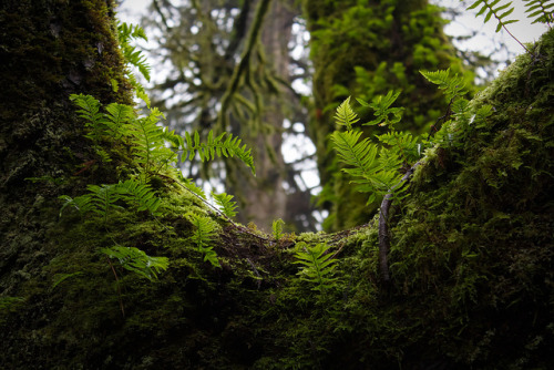 fyeahbcparks:  Ferns on a Tree by kevin.boyd on Flickr. Goldstream