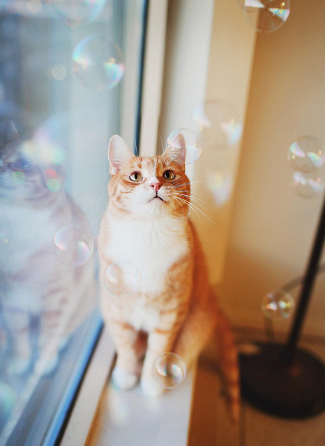89cats:  Pumpkin's Bubbles by Simply Stardust on Flickr.