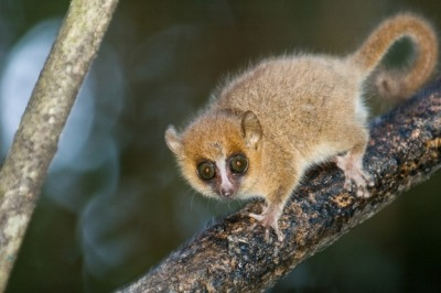 humanmonke:  Tiny Tot Credit: David Thyberg | Shutterstock A gray mouse lemur (Microcebus murinus), which is endemic to Madagascar, shown here in Ranomafana National Park, Madagascar. They are some of the smallest primates, with a head and body length of just 4.7 to 5.5 inches (12 – 14 cm) and a tail length of 5.1 to 5.7 inches (13 – 14.5 cm). Their long, thin lower incisors and canines make for a great dental comb used for grooming.