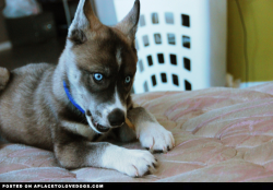 This is my beautiful 10 week old Siberian Husky, named Ash. He absolutely can't stand to be on the floor when I'm up in the bed. In this picture, I had given him a chew while he was sitting on a pillow of his. He watched me go to the bed and lie down, and picked up his chew, followed me, and tried his hardest to get up there on his own. I love him to death, and now that he's in my life, I couldn't imagine life without him! AshTheHusky profile on aplacetolovedogs To get your own profile page on aplacetolovedogs click here