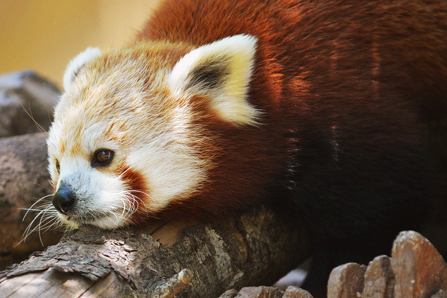 sdzoo:  Red Panda by LisaDiazPhotos