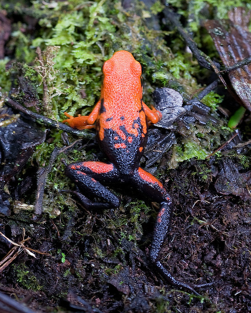earthandanimals:  Silverstone's Poison Frog, IUCN Redlist Data Deficient, Departmento Huanuco, Peru by Brad Wilson  approved.