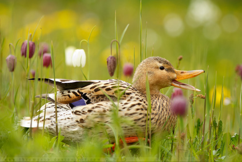 magicalnaturetour:   Duck and the Chess Flowers by *thrumyeye