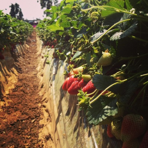 Strawberry picking! @maeedquilang @lawnknee Ryan #strawberrybubblegum #photographyskills