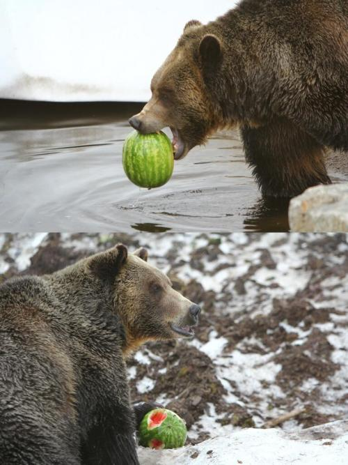Oh you know, just a grizzly bear eating a watermelon on Grouse mountain. Photo by Maurice