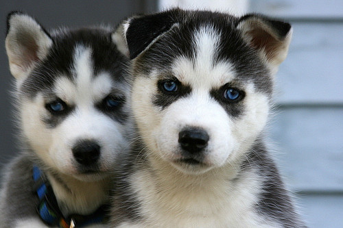 dogs. :r | via Tumblr on We Heart It - http://weheartit.com/entry/62171072/via/HazzyVanM   Hearted from: http://lucitsym.tumblr.com/post/50997488533/http-whrt-it-zax9a6