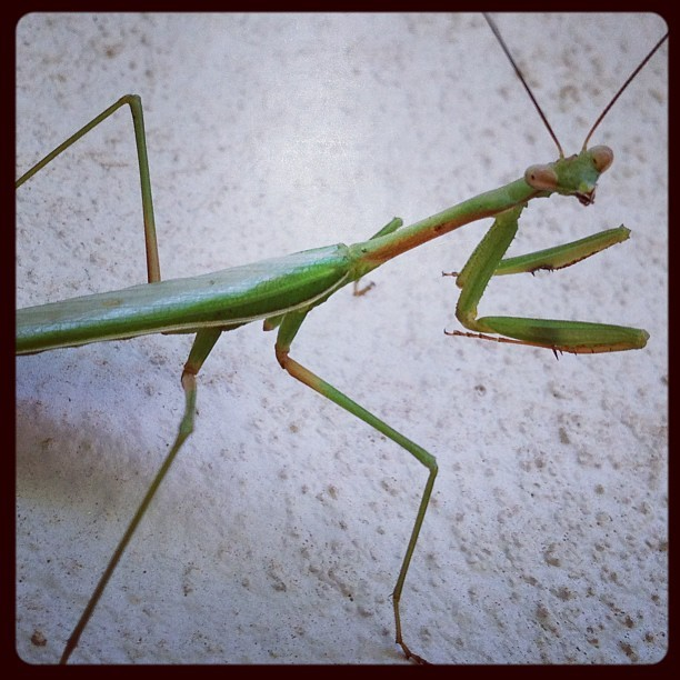 "The cutest praying mantis! When I saw it I said ""Hi Bug!"" and it turned to look at me. It posed for me for as long as I needed it to and when I finished taking pictures I said ""Bye Bug!"" and it strutted off up the wall again… I think it understood me (u3u)"