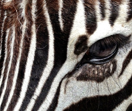 sdzoo:  Meet Zari, our beautiful four-year-old female Grant's zebra from our Backstage Pass program. Poll: White with black stripes or black with white stripes?