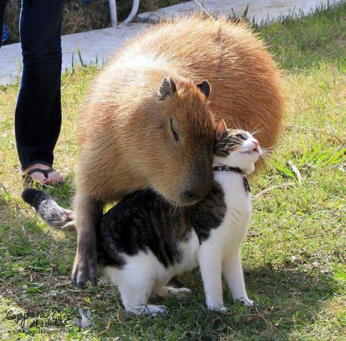 lahamu:  Capybara cuddling a Kitten.   Actual tears in my eyes…