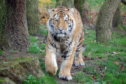 Banham Zoo: Siberian Tiger by —CWH— on Flickr.