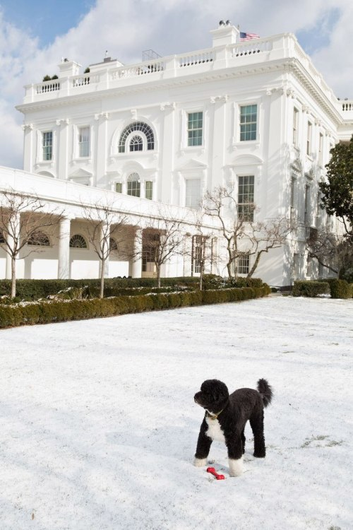 barackobama:  Photo of the day: Bo in the snow.