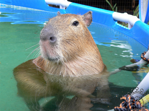 This is Dobby Winnick of Pet Capybara fame chilling in his pool.