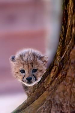 animals uploads cheetah