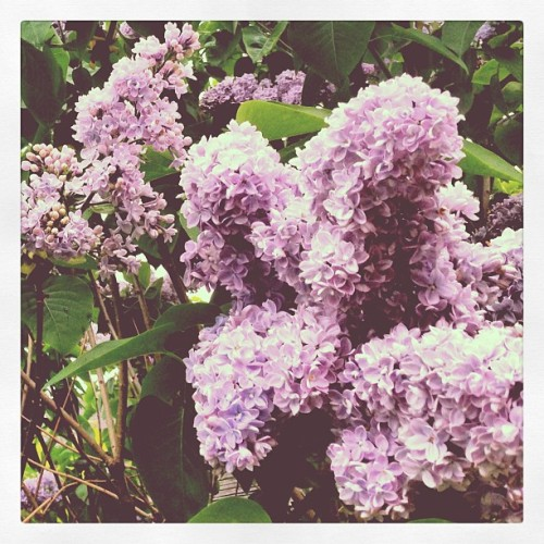 Blooming lilacs in the backyard. The smell is amazing! #accidentalgardener