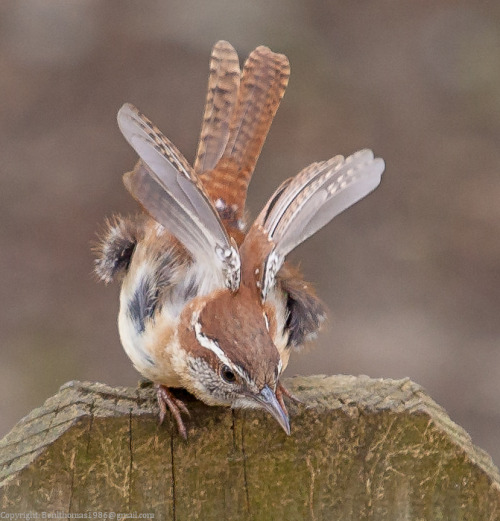 fairy-wren:  carolina wren (photo by rctfan)